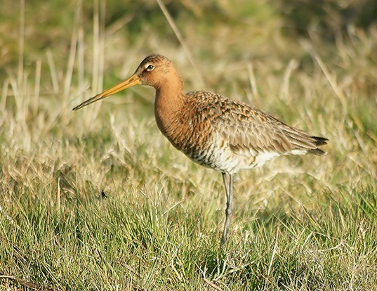 Picture of a black-tailed godwit (Limosa limosa)