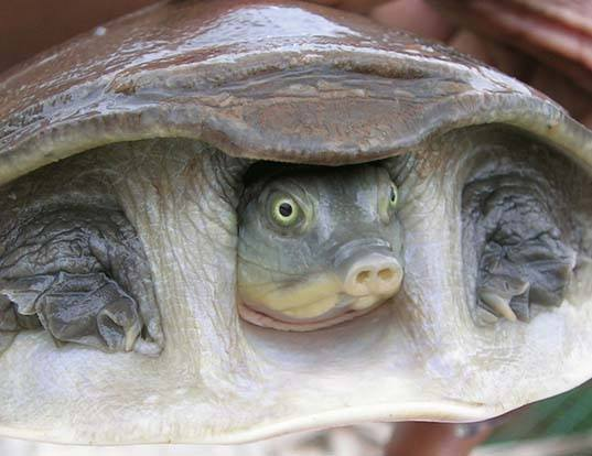 Picture of a indian flap-shelled turtle (Lissemys punctata)