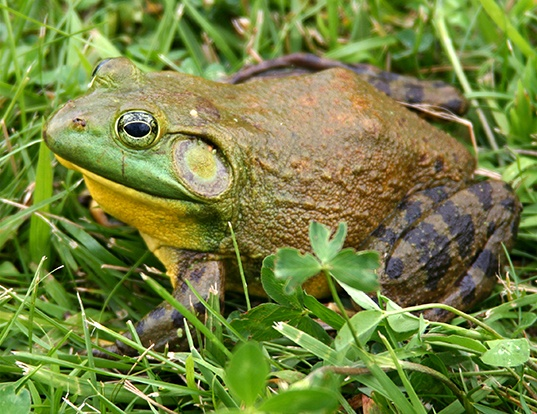 Picture of a american bullfrog (Lithobates catesbeianus)