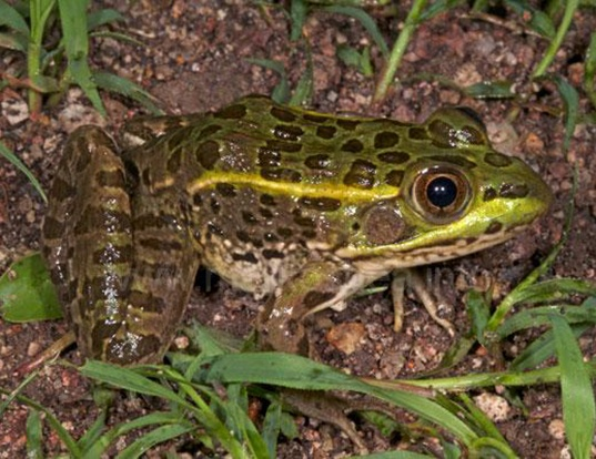 Picture of a chiricahua leopard frog (Lithobates chiricahuensis)