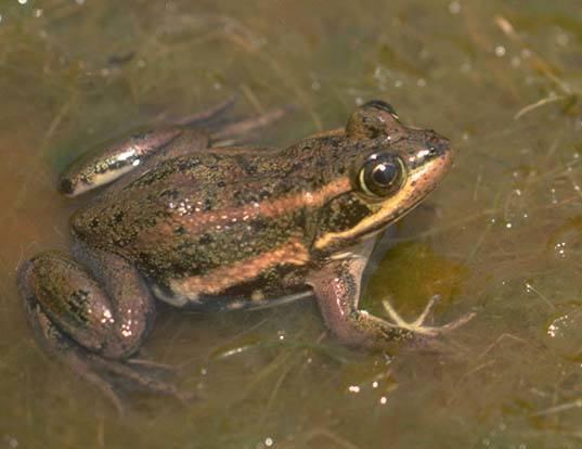 Picture of a carpenter frog (Lithobates virgatipes)