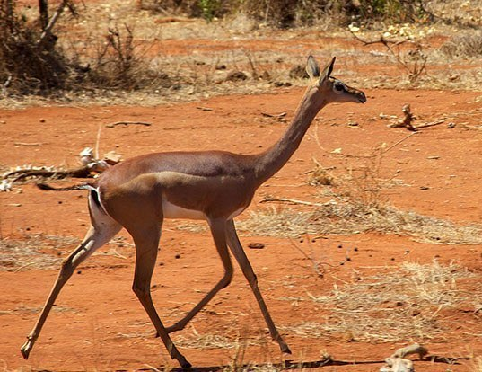 Picture of a gerenuk (Litocranius walleri)