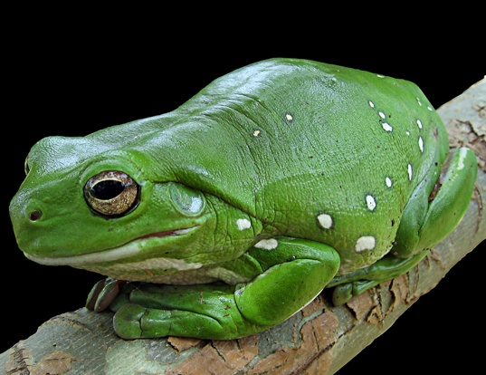 Picture of a green tree frog (Litoria caerulea)