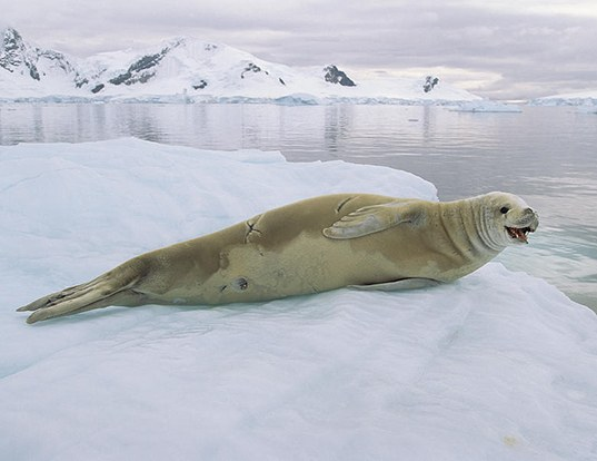Picture of a crabeater seal (Lobodon carcinophaga)