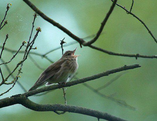 Picture of a eurasian river warbler (Locustella fluviatilis)