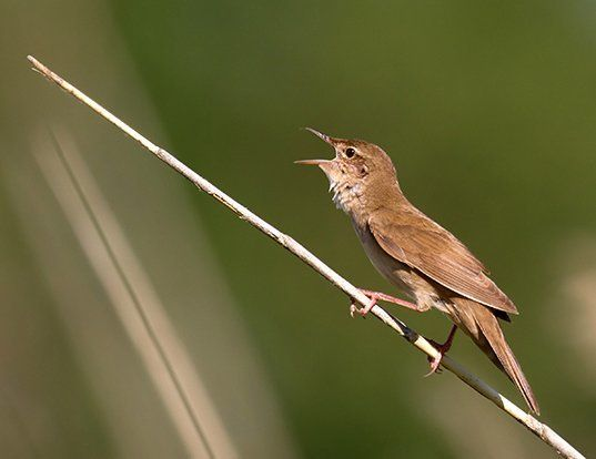 Picture of a savi's warbler (Locustella luscinioides)