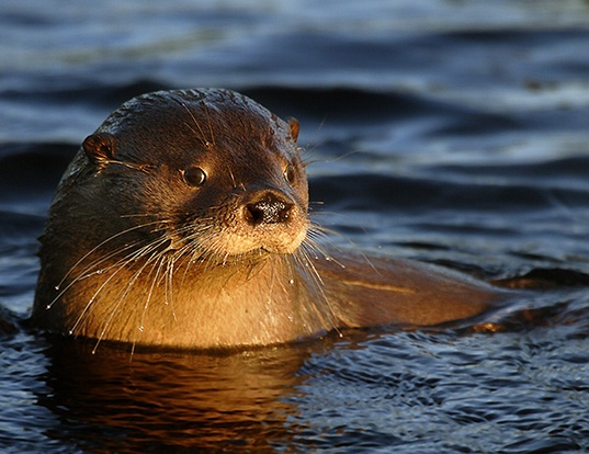 Picture of a southern river otter (Lontra provocax)