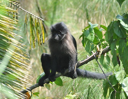 Picture of a gray-cheeked mangabey (Lophocebus albigena)