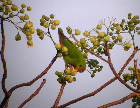 Picture of a philippine hanging-parrot (Loriculus philippensis)