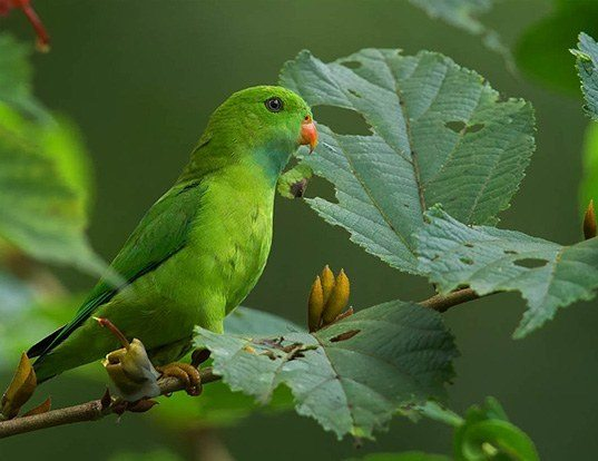 Picture of a vernal hanging parrot (Loriculus vernalis)