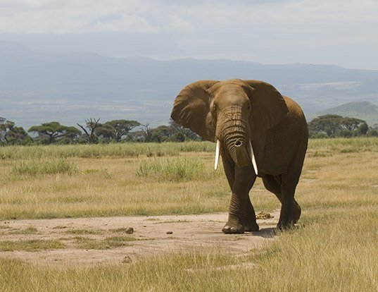 Picture of a african elephant (Loxodonta africana)