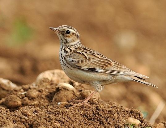 Picture of a wood lark (Lullula arborea)