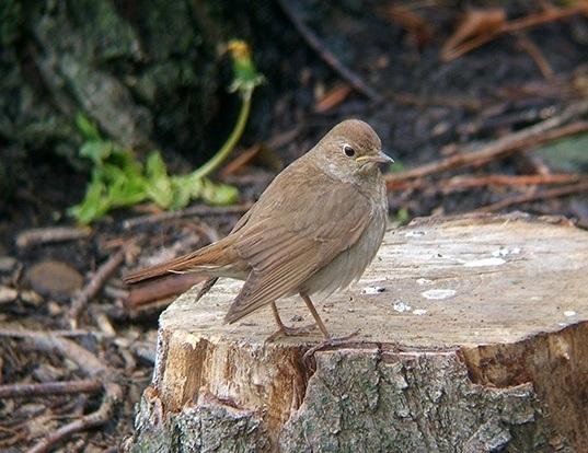 Picture of a thrush nightingale (Luscinia luscinia)