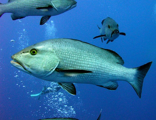 Picture of a two-spot red snapper (Lutjanus bohar)