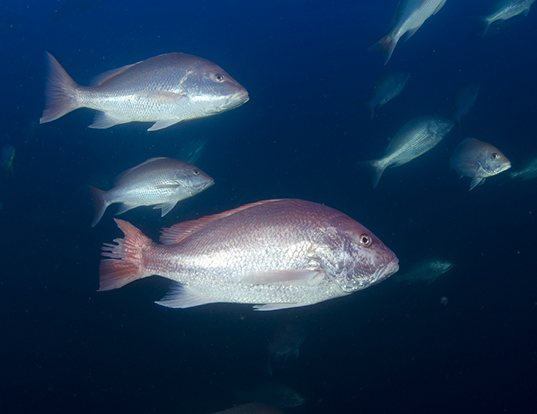 Picture of a northern red snapper (Lutjanus campechanus)