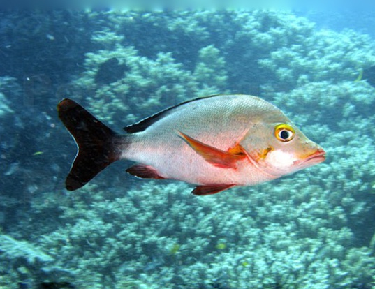 Picture of a humpback red snapper (Lutjanus gibbus)