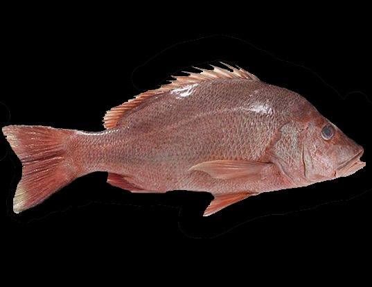 Picture of a malabar blood snapper (Lutjanus malabaricus)