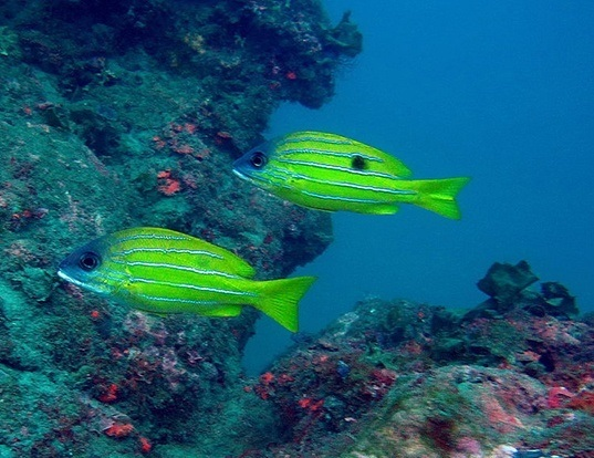 Picture of a five-lined snapper (Lutjanus quinquelineatus)