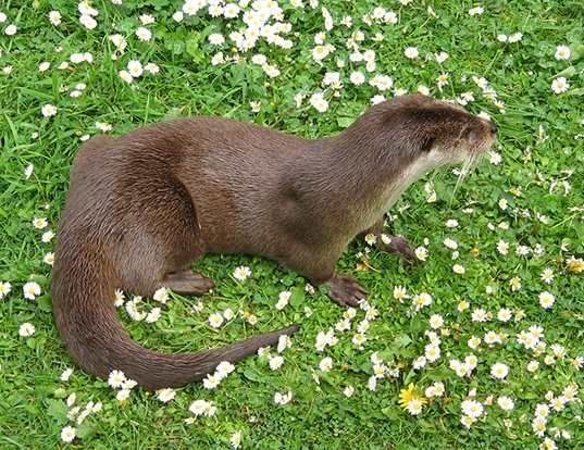 Picture of a eurasian otter (Lutra lutra)