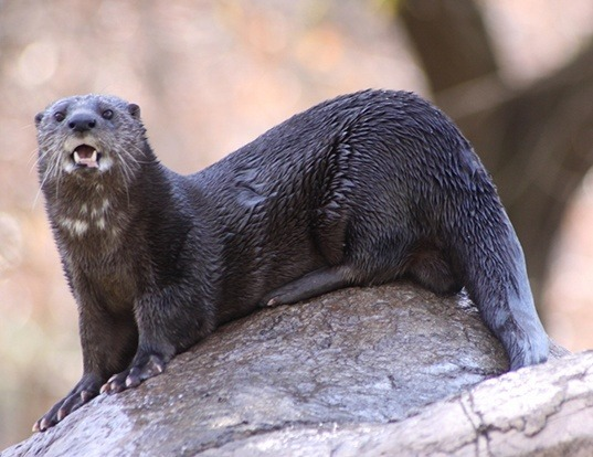Picture of a spotted-necked otter (Lutra maculicollis)
