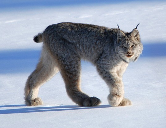 Picture of a canada lynx (Lynx canadensis)