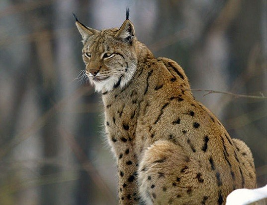 Picture of a lynx (Lynx lynx)
