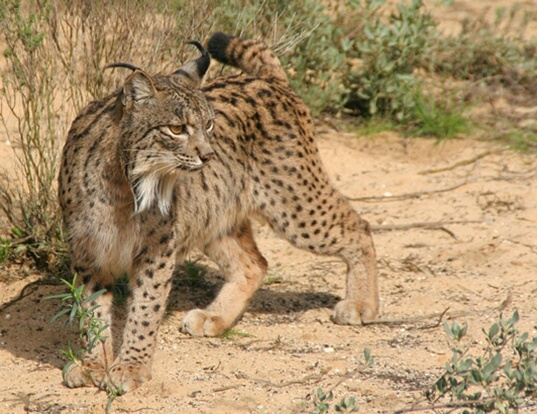 Picture of a iberian lynx (Lynx pardinus)