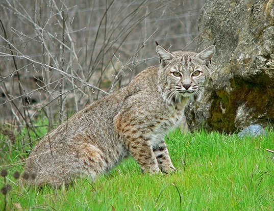 Picture of a bobcat (Lynx rufus)