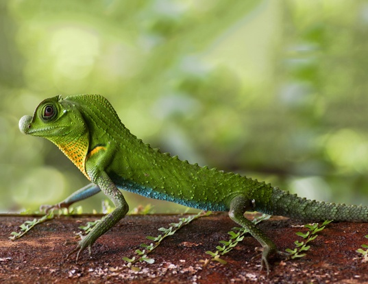 Picture of a ceylonese knob-nosed lizard (Lyriocephalus scutatus)