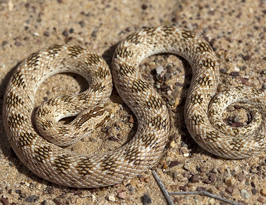 Picture of a diademed sand-snake (Lytorhynchus diadema)