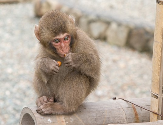 Picture of a japanese macaque (Macaca fuscata)