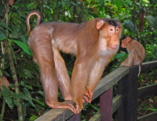 Picture of a southern pig-tailed macaque (Macaca nemestrina)