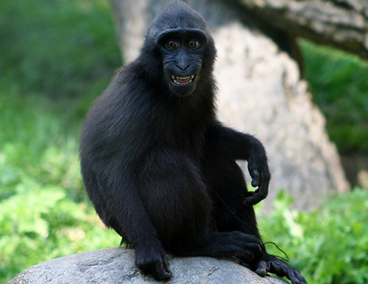 Picture of a celebes crested macaque (Macaca nigra)
