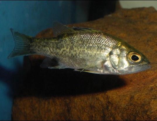 Picture of a australian bass (Macquaria novemaculeata)