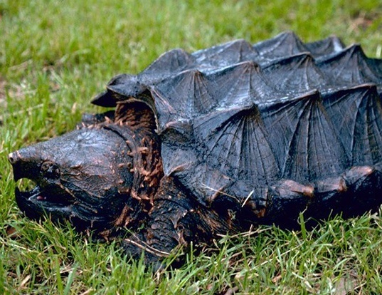 Picture of a alligator snapping turtle (Macrochelys temminckii)