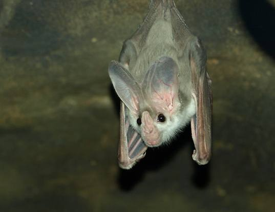 Picture of a ghost bat (Macroderma gigas)