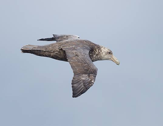 Picture of a southern giant petrel (Macronectes giganteus)