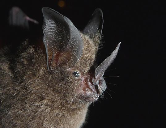 Picture of a long-legged bat (Macrophyllum macrophyllum)
