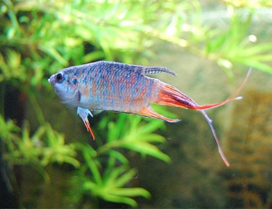 Picture of a paradise fish (Macropodus opercularis)