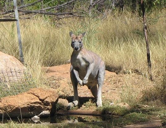 Picture of a antilopine wallaroo (Macropus antilopinus)