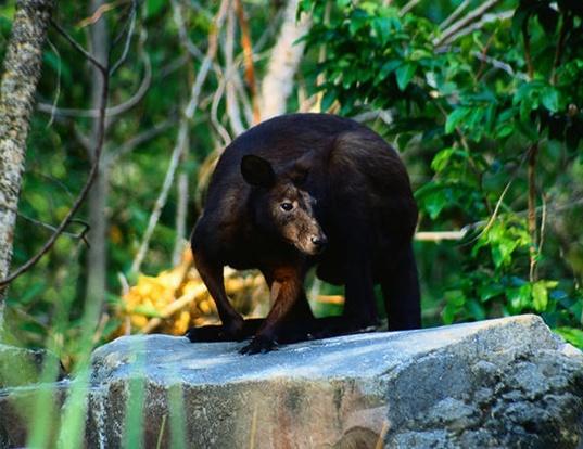 Picture of a black wallaroo (Macropus bernardus)