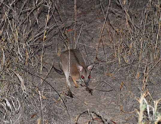Picture of a black-striped wallaby (Macropus dorsalis)