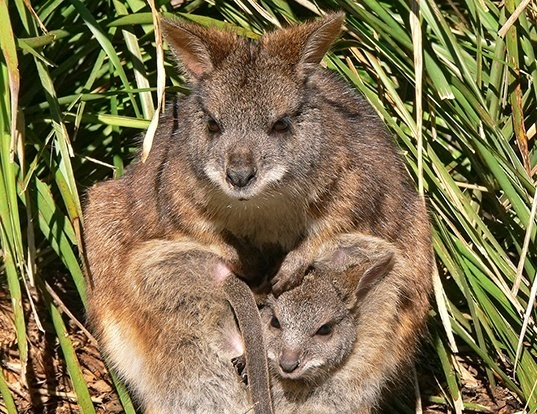 Picture of a parma wallaby (Macropus parma)