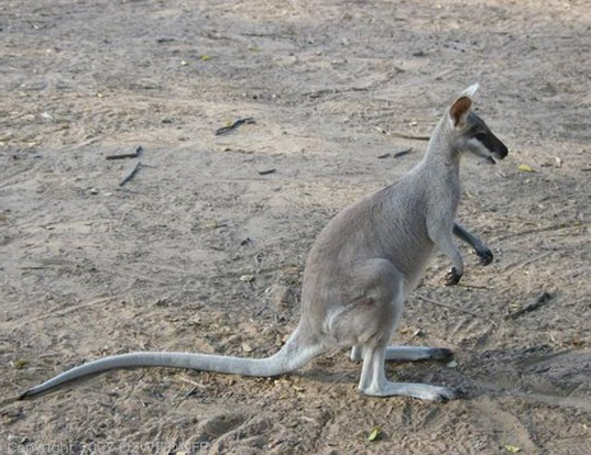 Picture of a whiptail wallaby (Macropus parryi)