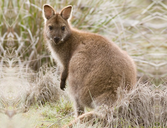 Picture of a red-necked wallaby (Macropus rufogriseus)