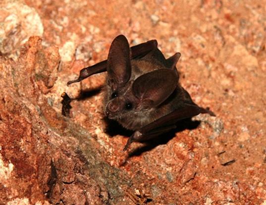 Picture of a california leaf-nosed bat (Macrotus californicus)