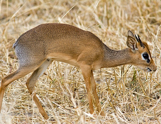 Picture of a gunther's dik-dik (Madoqua guentheri)