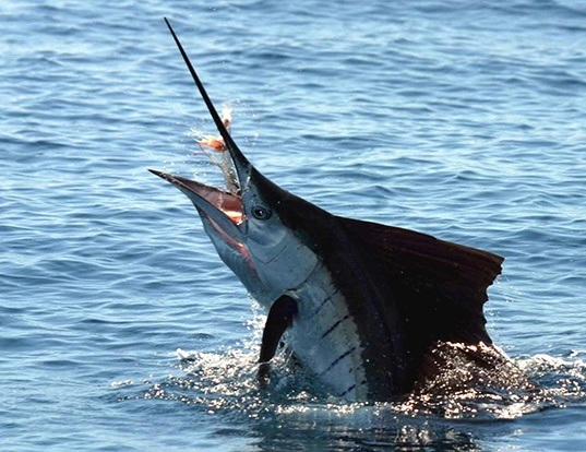 Picture of a blue marlin (Makaira nigricans)
