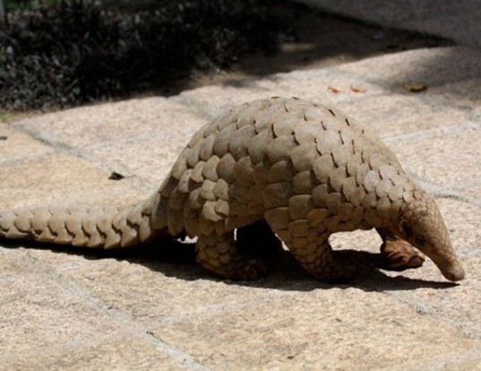 Picture of a indian pangolin (Manis crassicaudata)