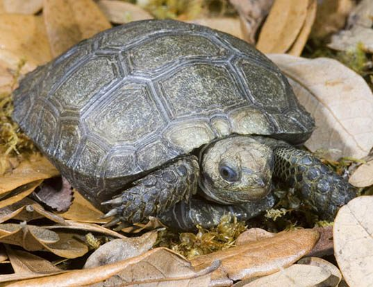 Picture of a asian giant tortoise (Manouria emys)
